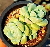 아이시그린 23- Echeveria Ice green