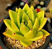 실생골드동운(중) 23- Echeveria agavoides var. Corderoyi