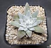 화이트그리니-8601 Dudleya White gnoma(White greenii / White sprite)