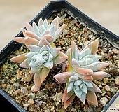 화이트그리니(자연군생) 7-131 Dudleya White gnoma(White greenii / White sprite)