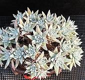 화이트그리니23두자연군생 Dudleya White gnoma(White greenii / White sprite)