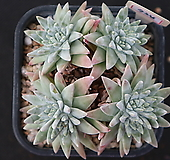 화이트그리니 자연목대 724 Dudleya White gnoma(White greenii / White sprite)