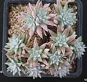 화이트그리니 자연목대 427 Dudleya White gnoma(White greenii / White sprite)