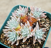 화이트그리니(자연군생) 7-277 Dudleya White gnoma(White greenii / White sprite)