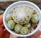 거미줄바위솔 54-143|Sempervivum arachnoideum tomentosum