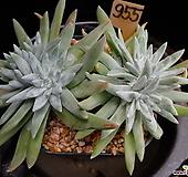 화이트그리니 955 자연군생한몸 Dudleya White gnoma(White greenii / White sprite)