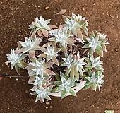 화이트그리니 군생 11 Dudleya White gnoma(White greenii / White sprite)