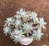 화이트그리니 군생 13 Dudleya White gnoma(White greenii / White sprite)