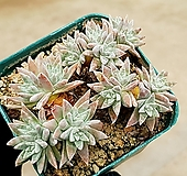 화이트그리니(자연군생) 8-212 Dudleya White gnoma(White greenii / White sprite)