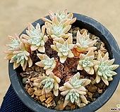 화이트그리니(자연군생) 8-360 Dudleya White gnoma(White greenii / White sprite)
