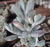 방울복랑금자연군생대품 Cotyledon orbiculata cv variegated