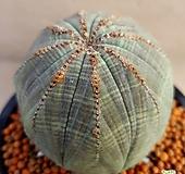 묵둥이대품오베사 Baseball Plant (Euphorbia obesa)
