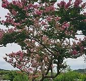 베롱나무 백일홍 (대품) 