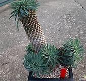 묵은 괴마옥대품 Euphorbia hypogaea