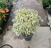 칼라벤자민 공기정화식물 대품 