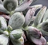 호피무늬복랑금6두군생|Cotyledon orbiculata cv variegated