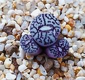 코노피튬 위트버젠스 rr714 3두군생(무늬 예뻐요)|Conophytum Wittebergense