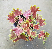 벤쿠버제라늄|Geranium/Pelargonium
