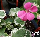 마담살롱(제라늄)|Geranium/Pelargonium