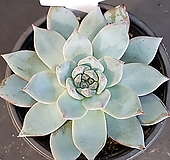 파랑새0919-454|Echeveria blue bird
