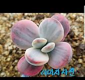 방울복랑금211 뿌리무 이미지사진과같은품종|Cotyledon orbiculata cv variegated