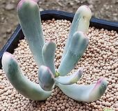 104.원종방울복랑금 (뿌리무|Cotyledon orbiculata cv variegated