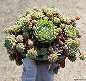 아이핀바위솔목대  화분째배송|