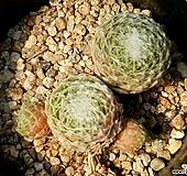 거미줄바위솔 55-81|Sempervivum arachnoideum tomentosum
