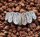 하월시아 옥선 스트라이프|haworthia