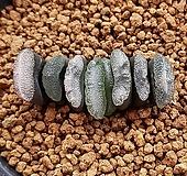 하월시아 옥선 화이트|haworthia