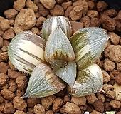 하월시아 금관[GOLDEN CROWN]|haworthia