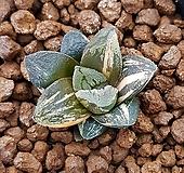 하월시아 타이거피그마에아금|Haworthia pygmaea