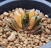 하월시아 옥선금 일루미네이션|haworthia