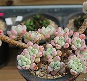 핑크라울자연군생|Sedum Clavatum