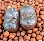 코노피튬 고급종입니다  1153 Conophytum