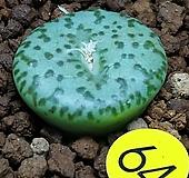 픽투라툼코노피튬(성체컷팅뿌리내림) Conophytum
