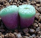 오쿠라툼코노피튬 Conophytum
