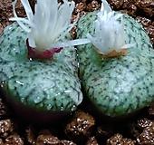 세레시아넘코노피튬(씨앗수정) Conophytum