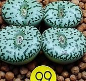 안진코노피튬 Conophytum