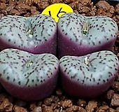 옵코델룸코노피튬 Conophytum