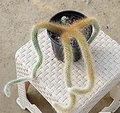 원숭이꼬리 선인장 [꽃사진 참조]|