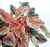 뉴핑크레이디페페 페페로미아 공기정화식물 한빛농원 |