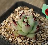 멕시코야생마리아(소품)0915 Echeveria agavoides Maria