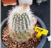 레이스(race cactus) 여광환 실생|
