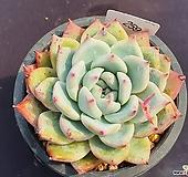 야생콜로라타 405_WW259|Echeveria colorata
