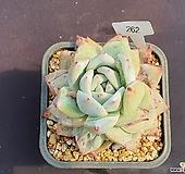 야생콜로라타 405_WW262|Echeveria colorata