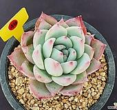 야생콜로라타 406_YR49|Echeveria colorata