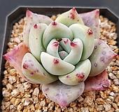 콜로라타SP4613|Echeveria colorata