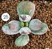 호피복랑금,뿌리튼튼 |Cotyledon orbiculata cv variegated