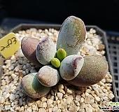 호피복랑금283|Cotyledon orbiculata cv variegated